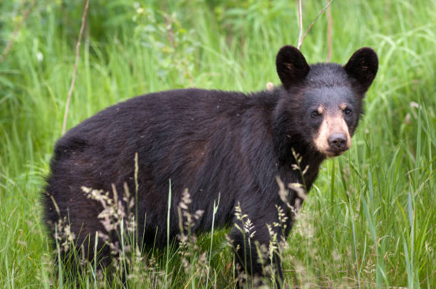 Canadian Black Bear Cub (Ursus) cub in grass stock photo