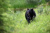 A shot of a black bear in Jasper National Park in Alberta Canada