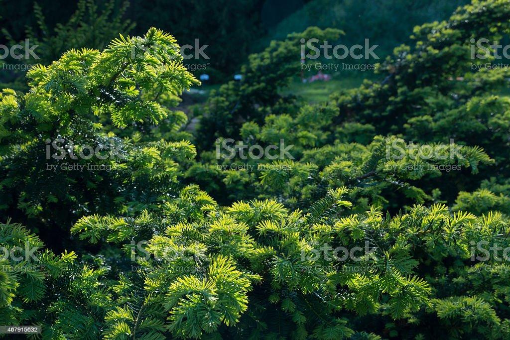 Canadian branch tree stock photo