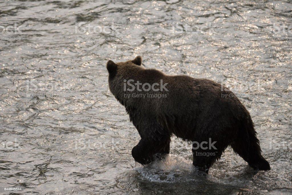 Canadian Brown Bear stock photo