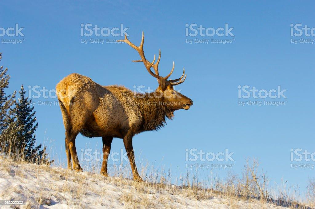 Canadian Elk foto de stock royalty-free