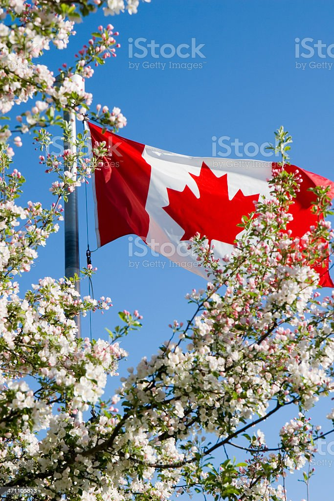 Canadian flag and apple blossoms royalty-free stock photo