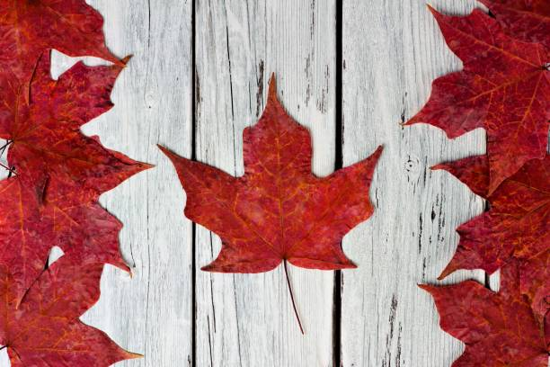 canadian flag of red maple leaves over weathered white wood - canada day stock pictures, royalty-free photos & images