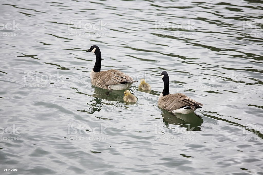 Canadian geese and goslings series royalty-free stock photo