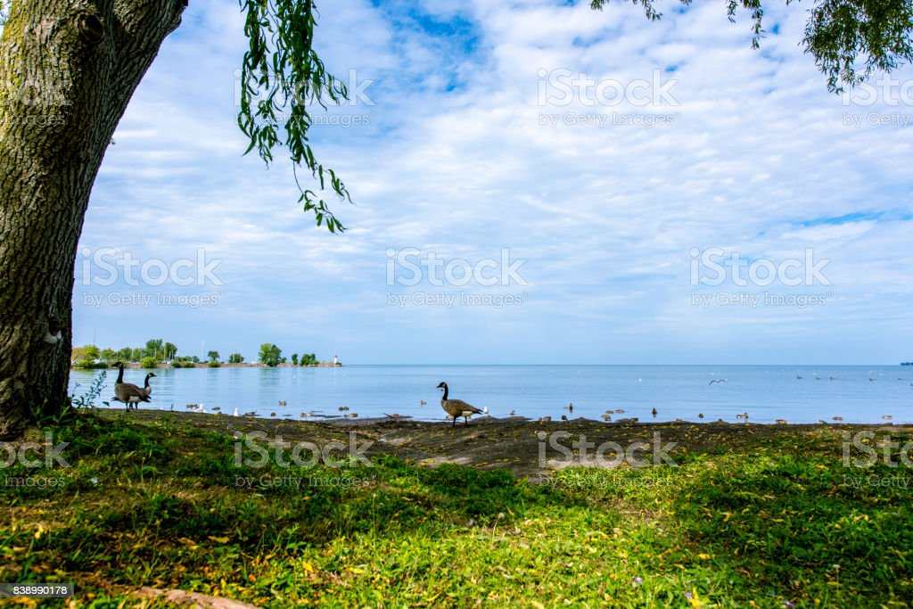 Canadian geese and Lake Ontario stock photo