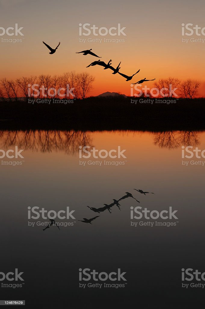 Canadian Geese at Sunset royalty-free stock photo