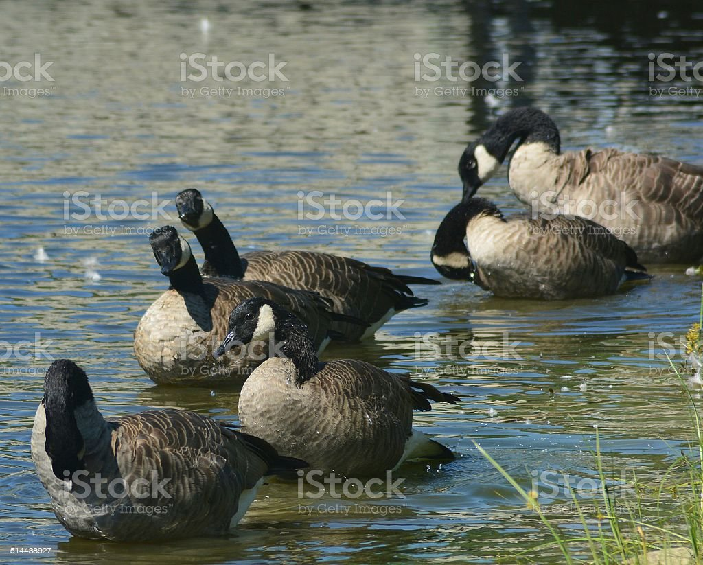 Canadian Geese Bathing stock photo
