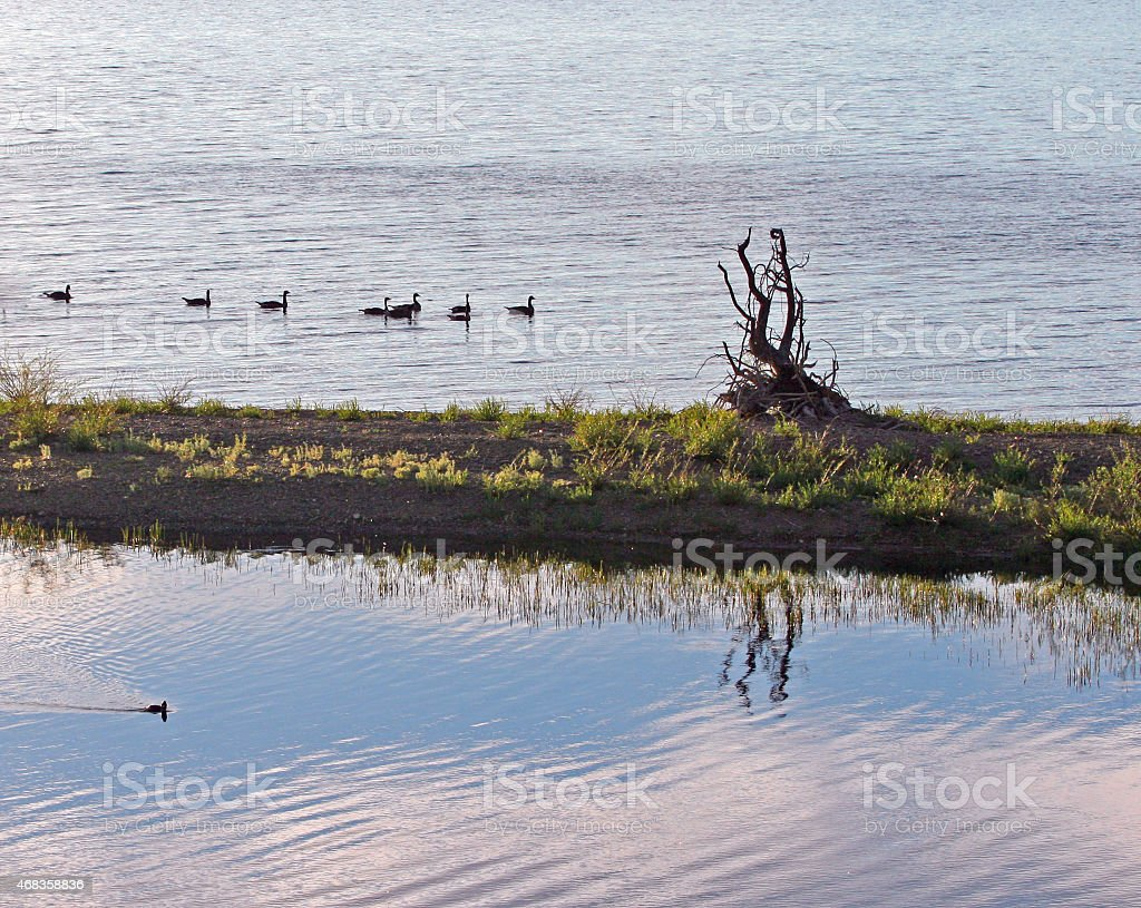 Canadian Geese enjoying an early afternoon swim in Yellowstone Lake royalty-free stock photo