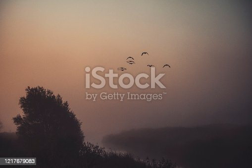 Canadian geese flying at sunset