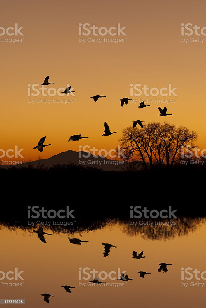 Canadian Geese Flying At Sunset royalty-free stock photo