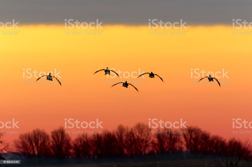 Vol d'oies du Canada au coucher du soleil - Photo