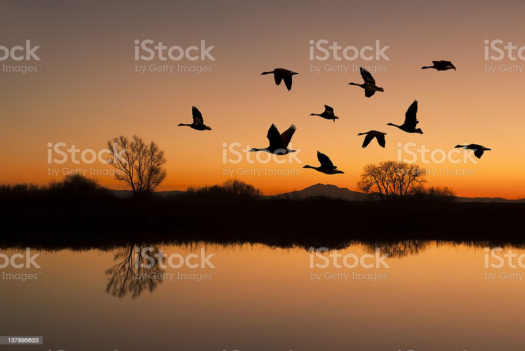 Canadian geese flying over a river at sunset stock photo