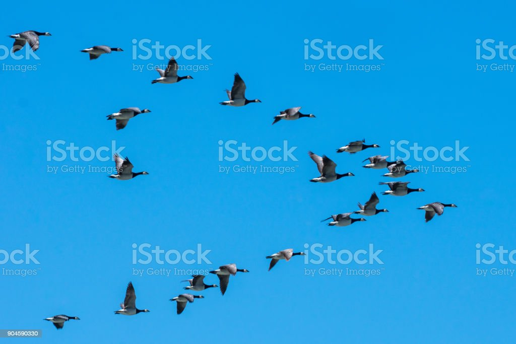 Les Bernaches du Canada vol Sud en formation de charrue - Photo