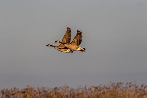 An adult Canada Goose \