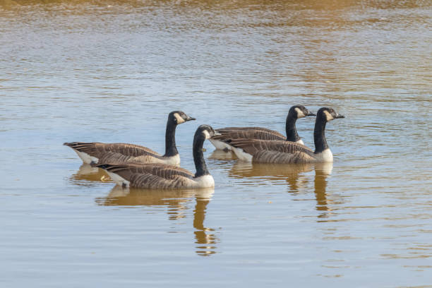 Canadian geese in the lake autumn (Branta canadensis) Canadian geese in the lake autumn (Branta canadensis) canada goose stock pictures, royalty-free photos & images