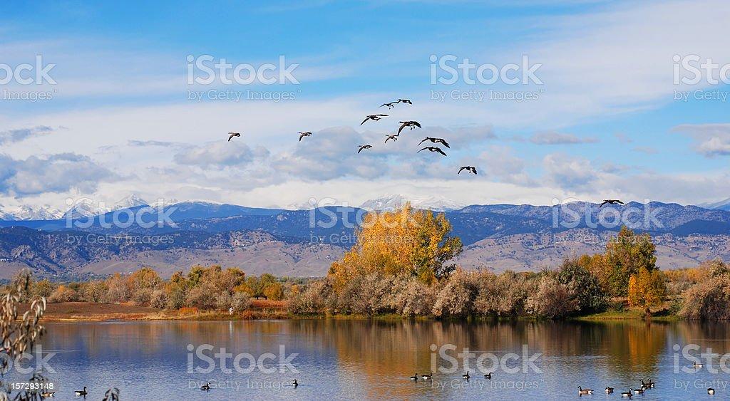 Canadian Geese Landing royalty-free stock photo