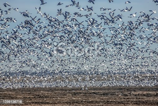 Thousands of birds take to the air after stopping to rest in a marsh.
