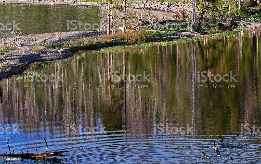 Canadian Geese near shore of Yellowstone Lake royalty-free stock photo