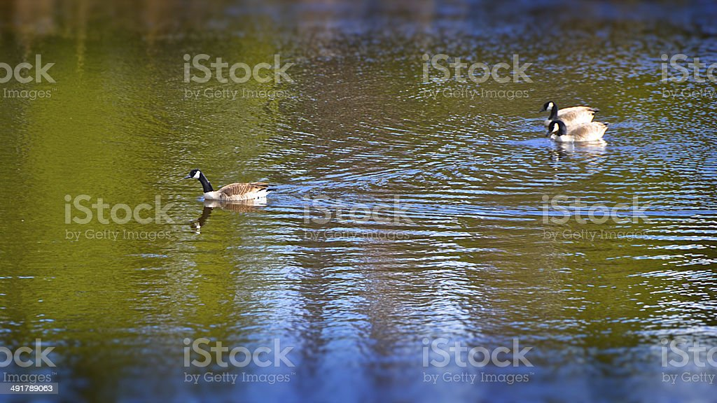 Canadian Geese on Colorado Pond stock photo