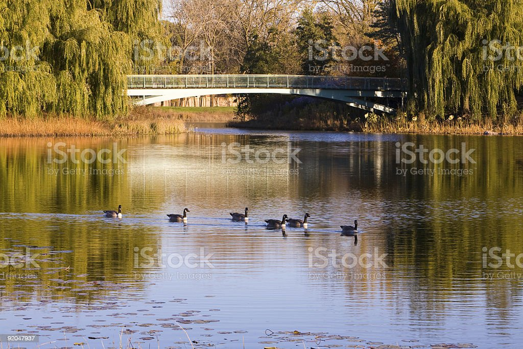 Canadian geese on the autumn pond stock photo