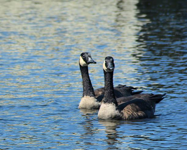 Canadian Geese on Water stock photo