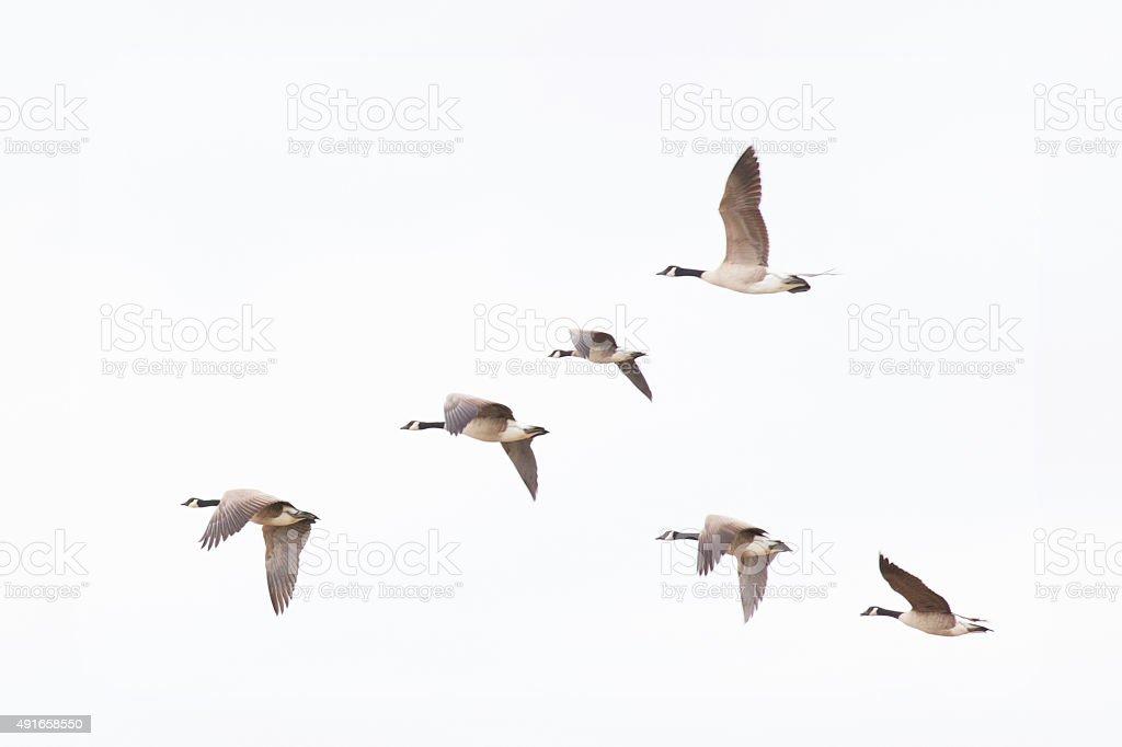 Oies du Canada - Photo