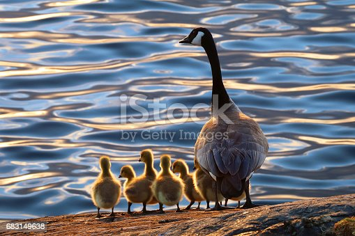 Mother Goose with her goslings on the shoreline.