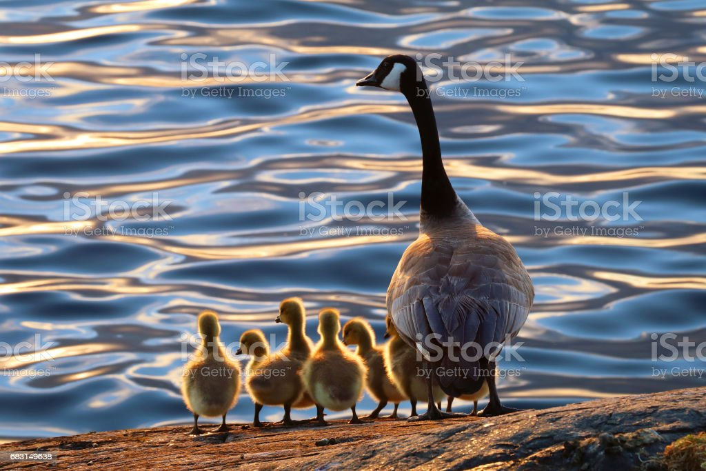 Canadian Geese stock photo