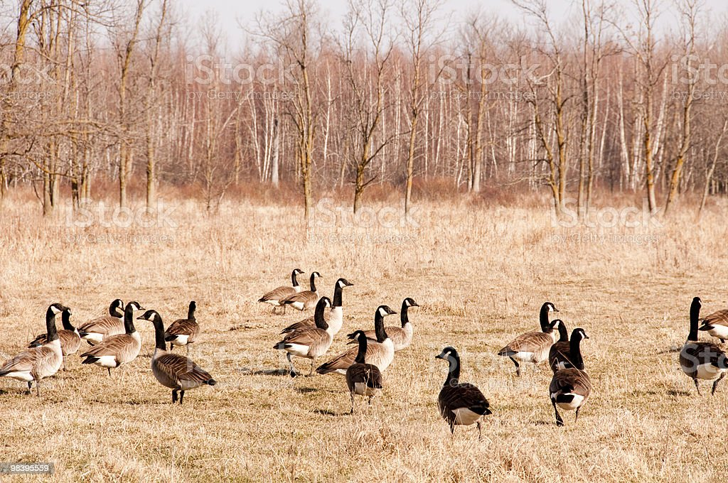 Canadian Geese royalty-free stock photo