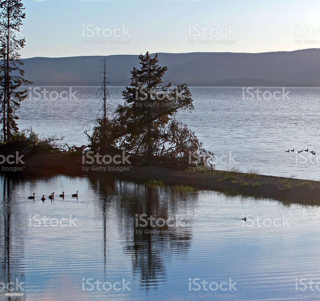 Canadian Geese swimming in Yellowstone Lake royalty-free stock photo
