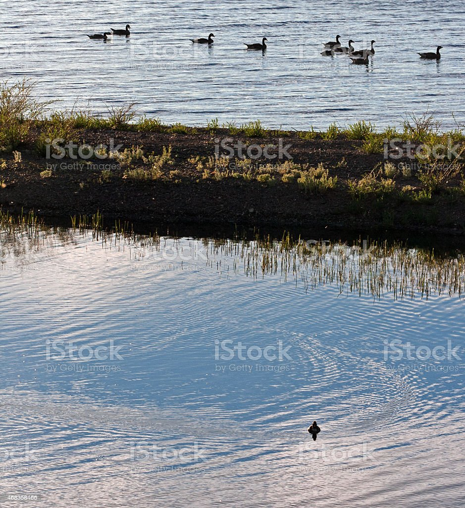 Canadian Geese swimming near sandspit in Yellowstone Lake royalty-free stock photo