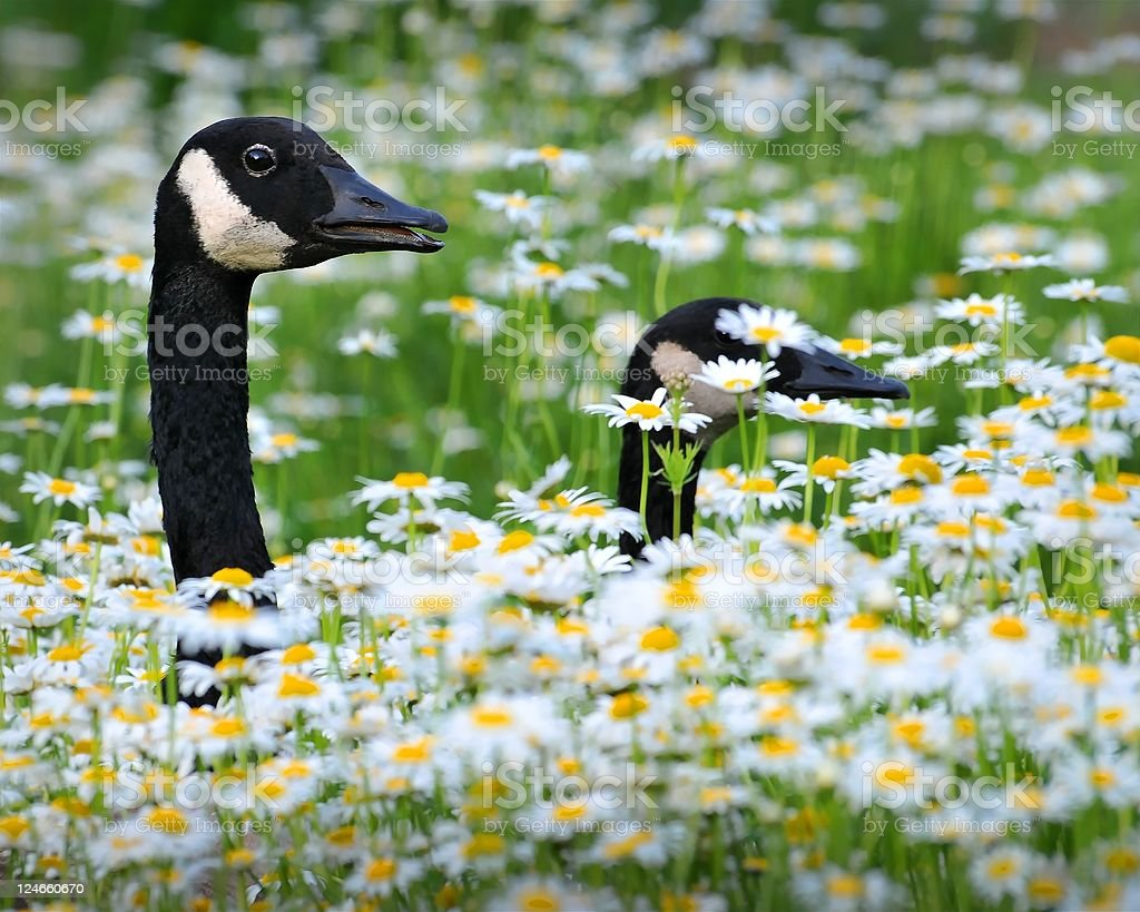 Canadian geese walking through a field of daisies and chrysanthemums royalty-free stock photo
