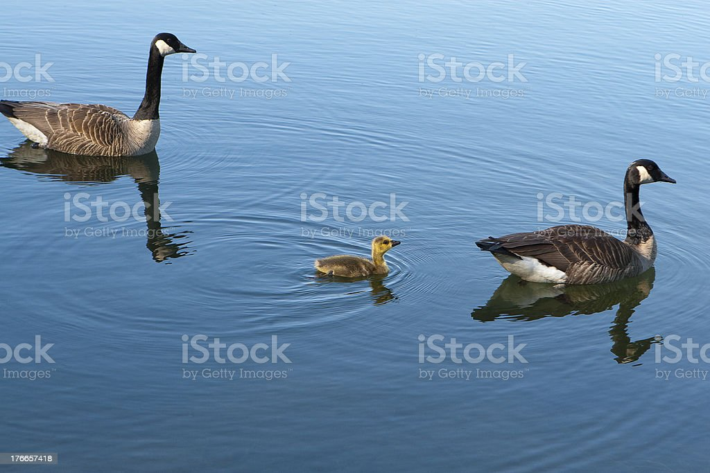 Canadian Geese with baby royalty-free stock photo