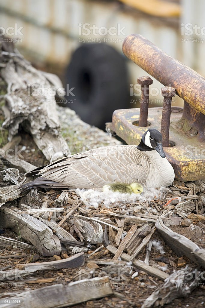 Canadian goose and gosling royalty-free stock photo