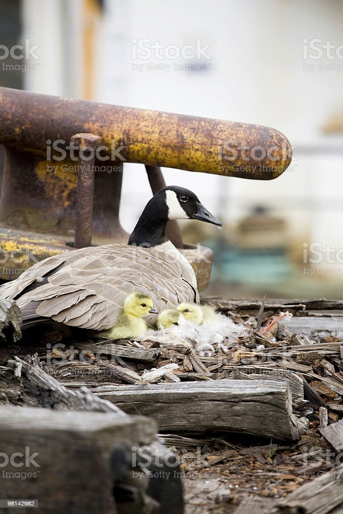 Canadian goose and goslings on an abandoned pier royalty-free stock photo