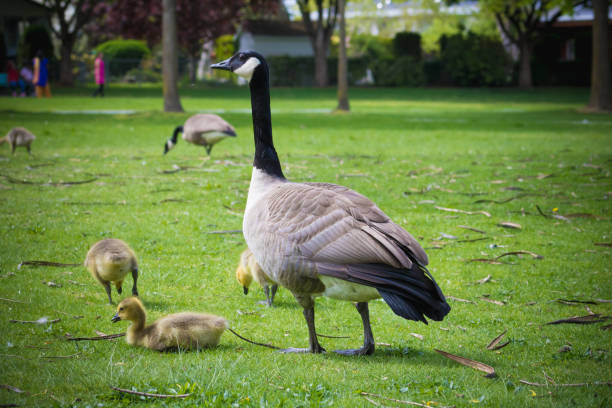 Canadian Goose Baby Family bonds are strong in Canada Geese—goslings stay with their parents for a full year, returning to the breeding grounds with them after their first winter. Migrating flocks in fall and spring thus consist of a number of families travelling together. canada goose stock pictures, royalty-free photos & images