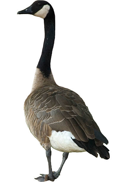 Canadian Goose Clipped Shot of a canadian goose here in michigan, with background clipped out. canada goose stock pictures, royalty-free photos & images