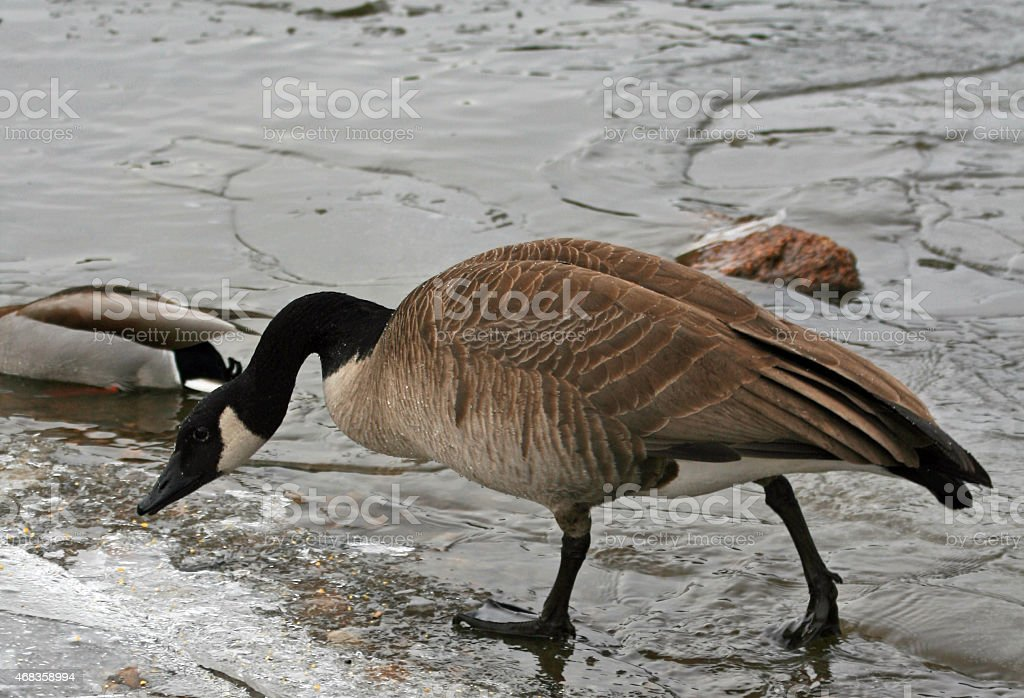 Canadian Goose in Estes Park Lake Colorado USA royalty-free stock photo