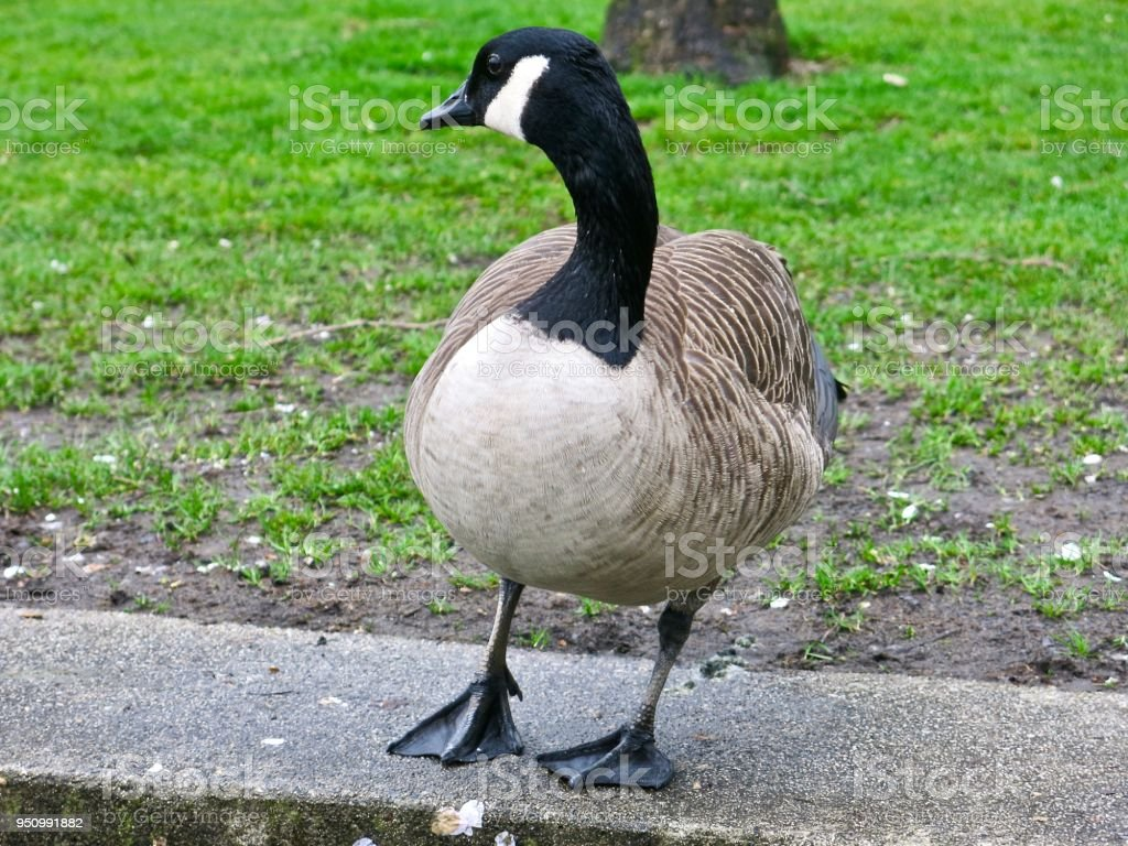Canadian Goose in Vancouver Park, Canada, British Columbia with pond...