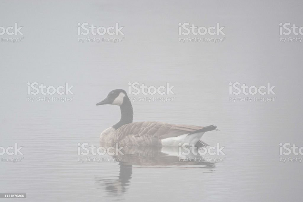 A Canadian Goose is masked by a dense layer of fog stock photo