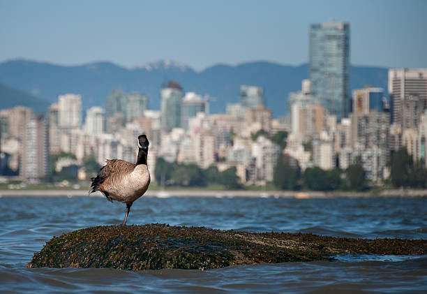 Canadian Goose Looking in Front of Vancouver Skyline stock photo