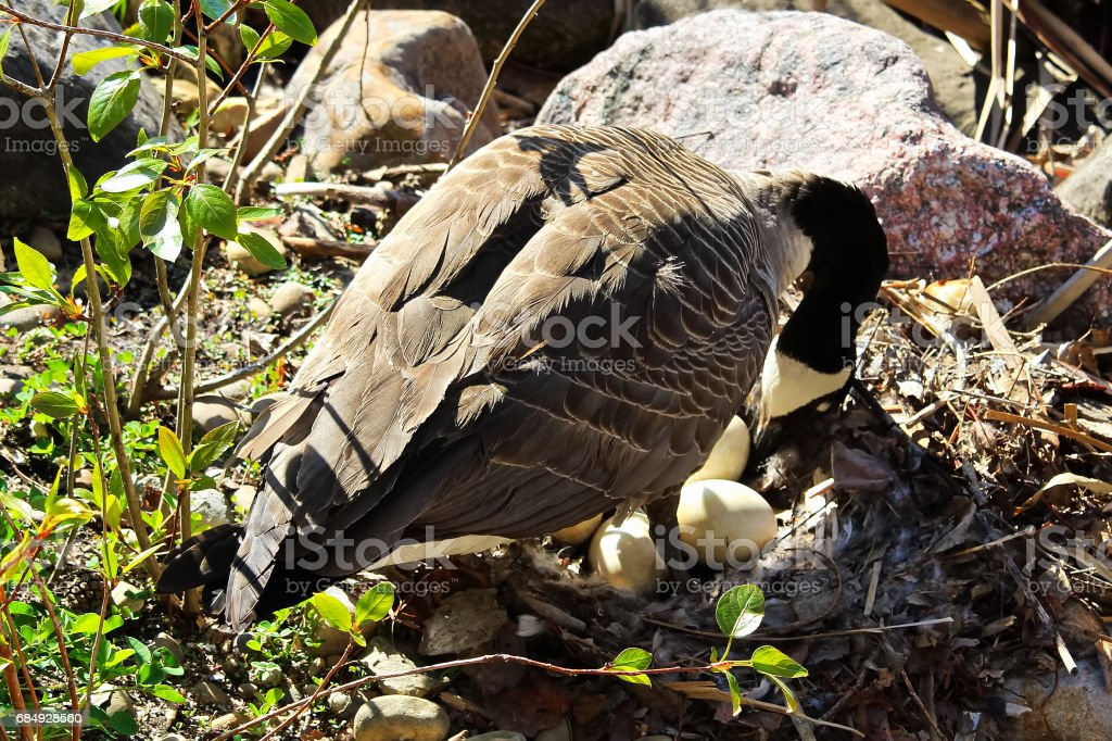 A Canadian Goose mother turning her eggs in her nest stock photo