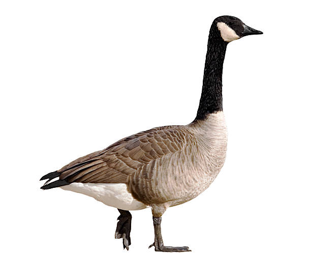 A Canadian goose on a white background Isolated canada goose on a white background canada goose stock pictures, royalty-free photos & images