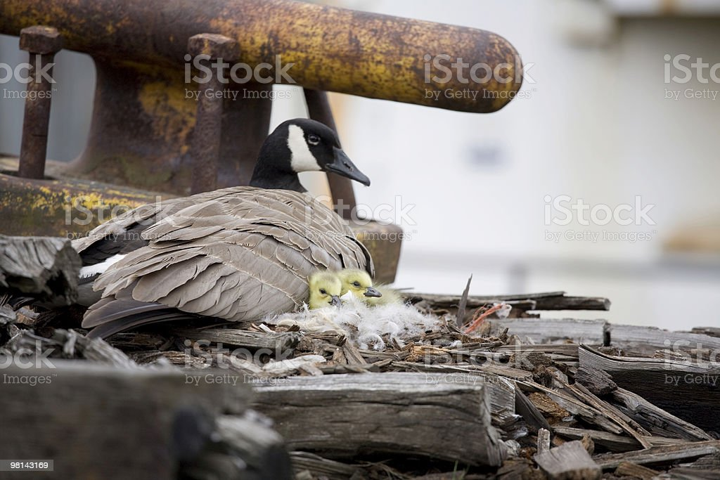 Canadian goose on an abandoned pier royalty-free stock photo