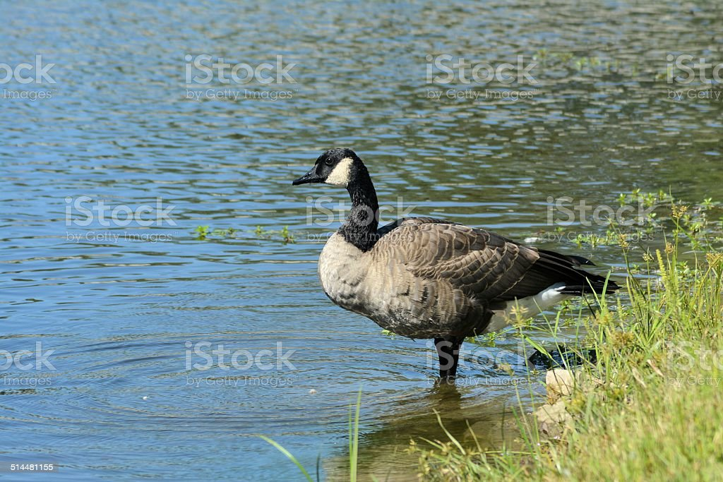Canadian Goose on the Shore stock photo