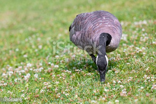 Canadian Goose walking and grazing in an urban park