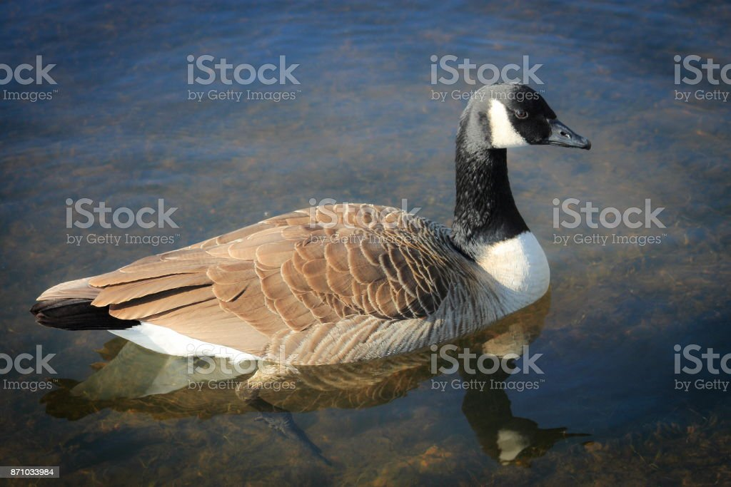 A Canadian Goose (Branta canadensis) stock photo