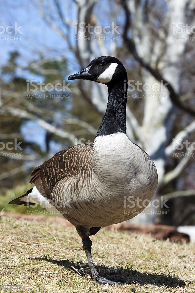 Canadian Goose XL royalty-free stock photo