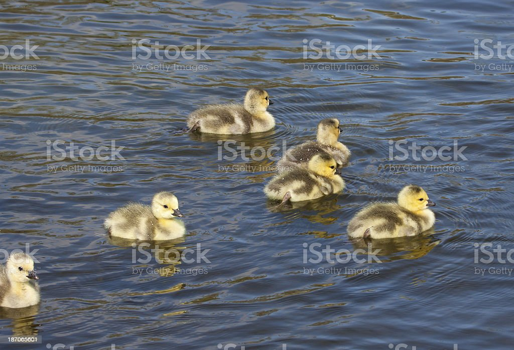 Canadian Goslings royalty-free stock photo
