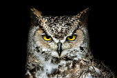 Portrait of a Canadian Great Horned Owl (Bubo virginianus) against a black background.